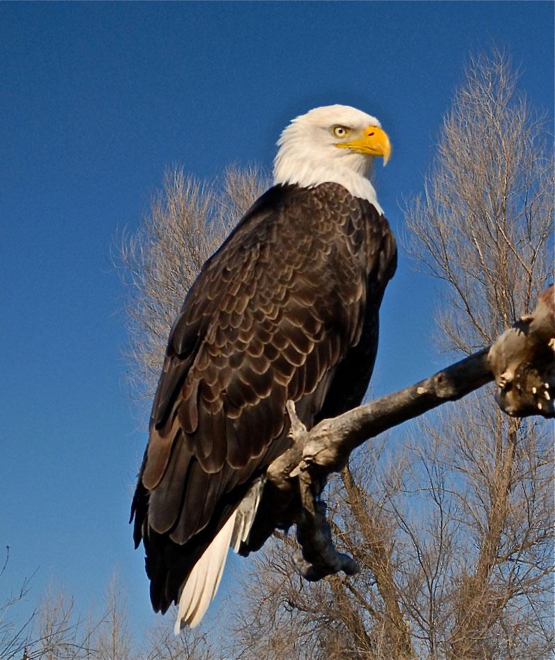Image of Bald Eagle