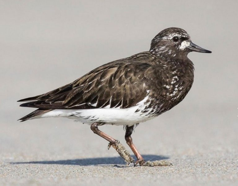 Image of Black Turnstone