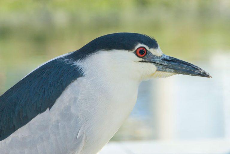 Image of Black-crowned Night Heron