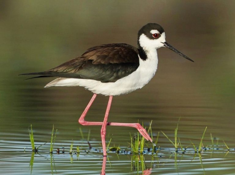 Image of Black-necked Stilt