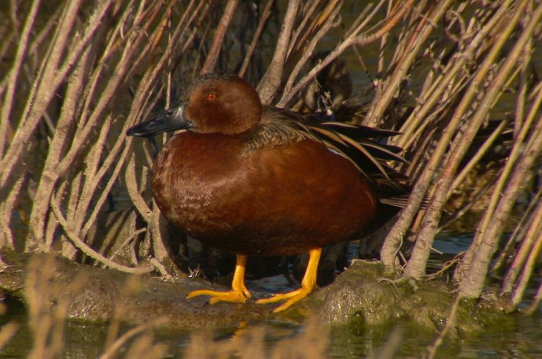 Image of Cinnamon Teal