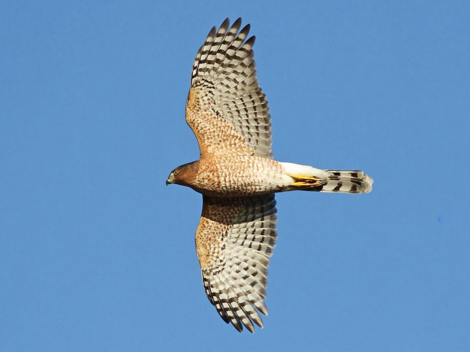 Image of Cooper's Hawk