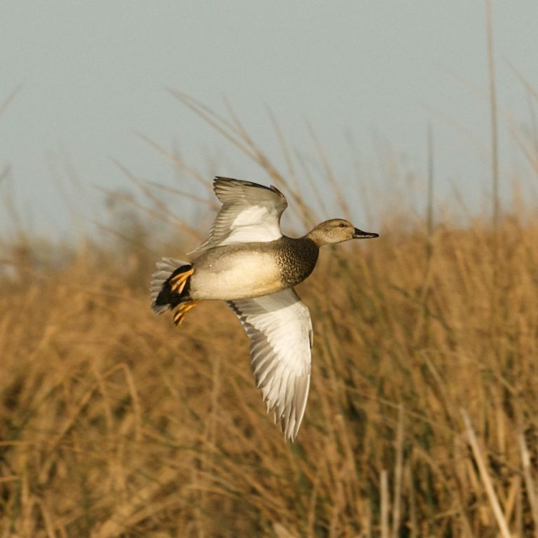 Image of Gadwall