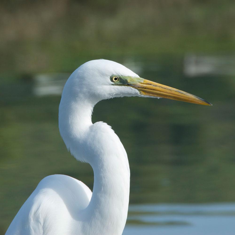 Image of Great White Egret