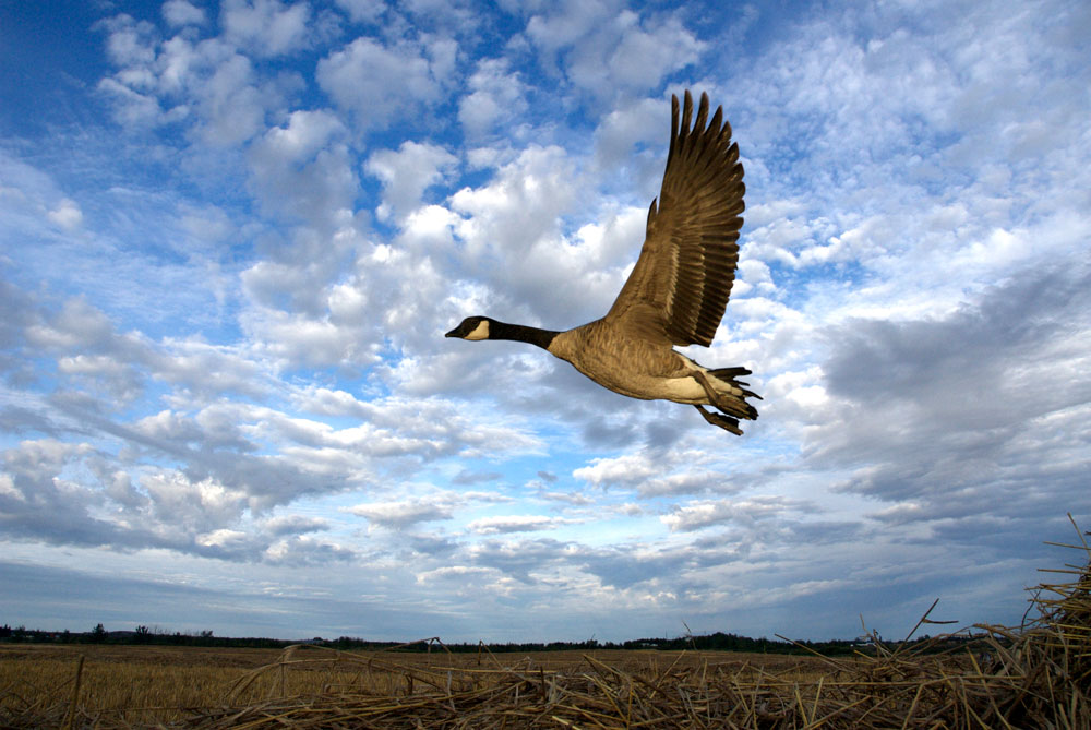 Image of Greater Canada Goose