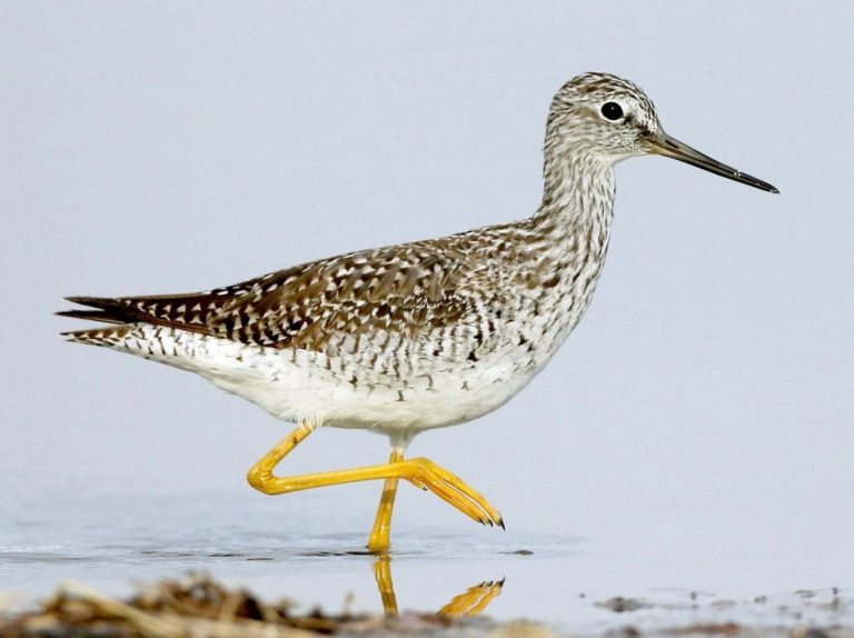 Image of Greater Yellowlegs