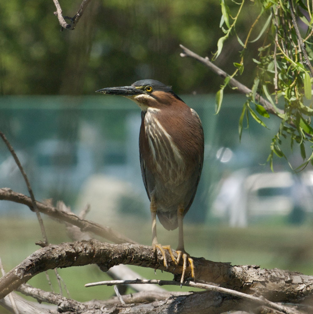 Image of Green Heron