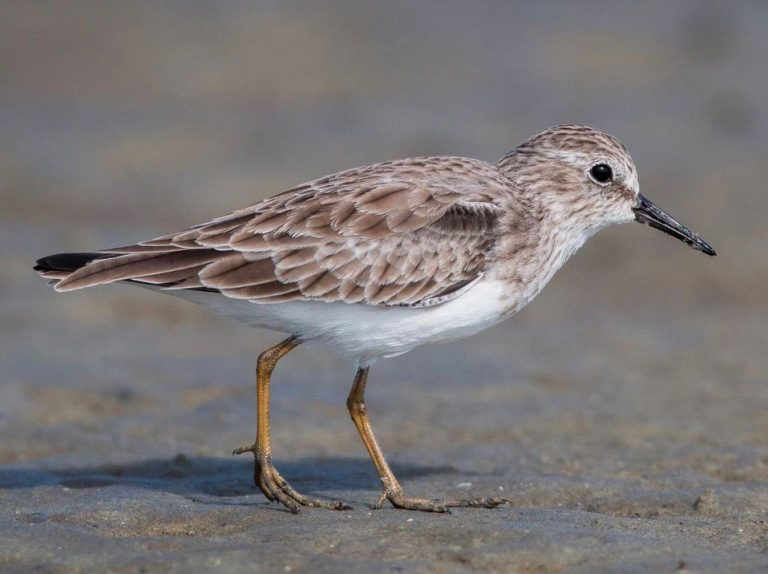 Image of Least Sandpiper