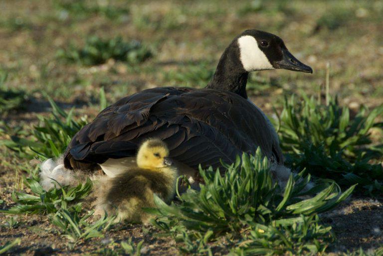 Image of Lesser Canada Goose