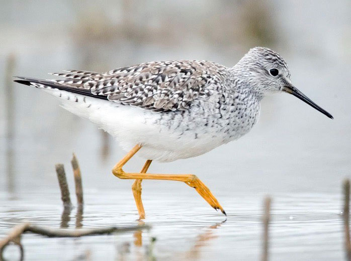 Image of Lesser Yellowlegs