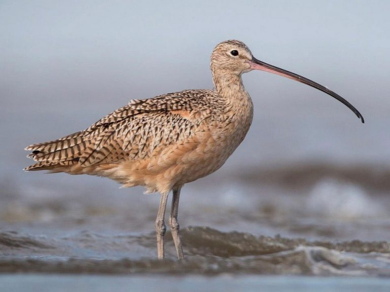 Image of Long-billed Curlew