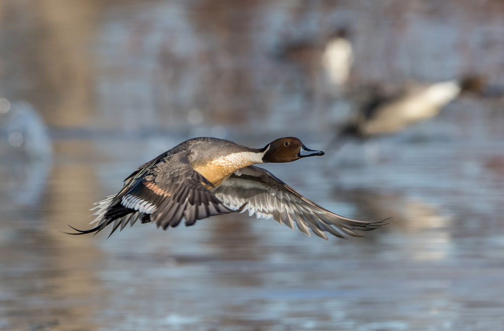 Image of Northern Pintail