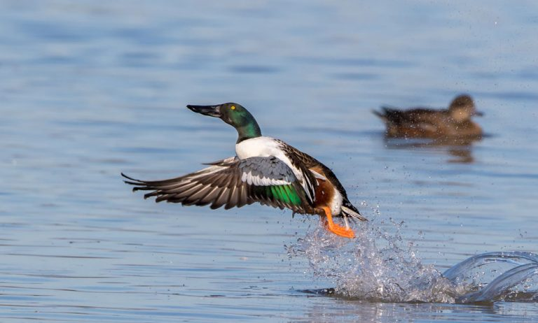 Image of Northern Shoveler