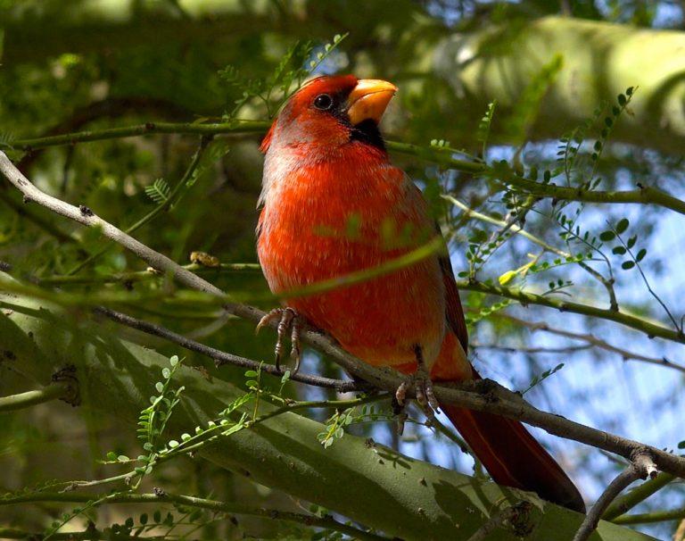 Nothern Cardinal Hybrid