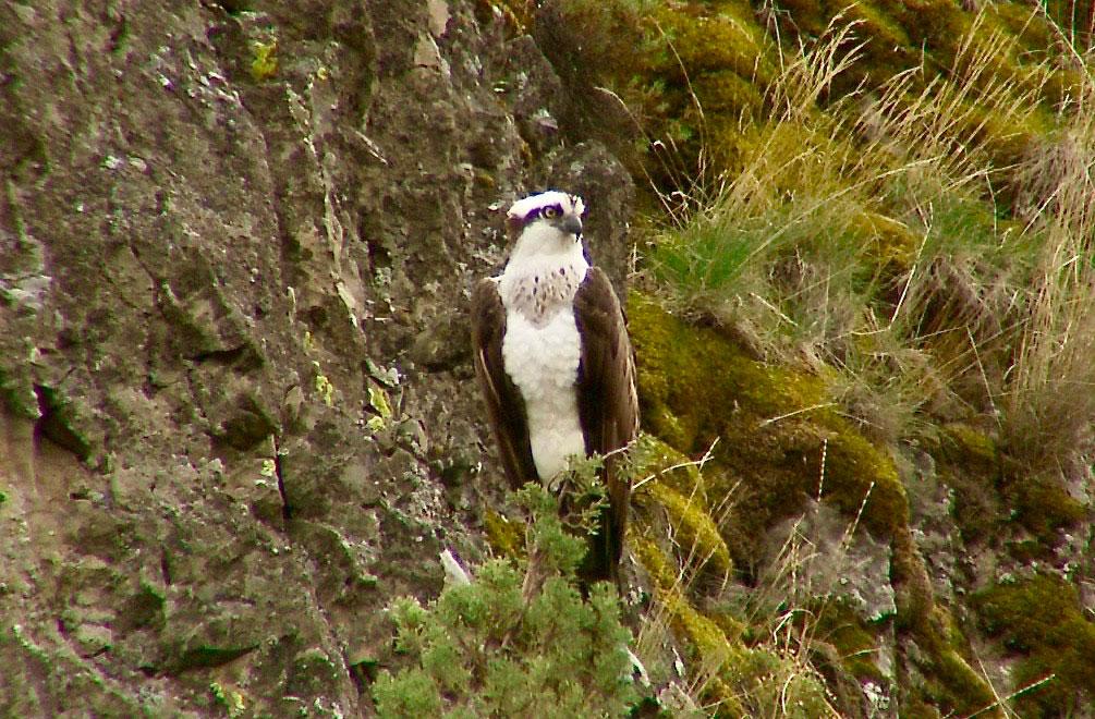 Image of Osprey