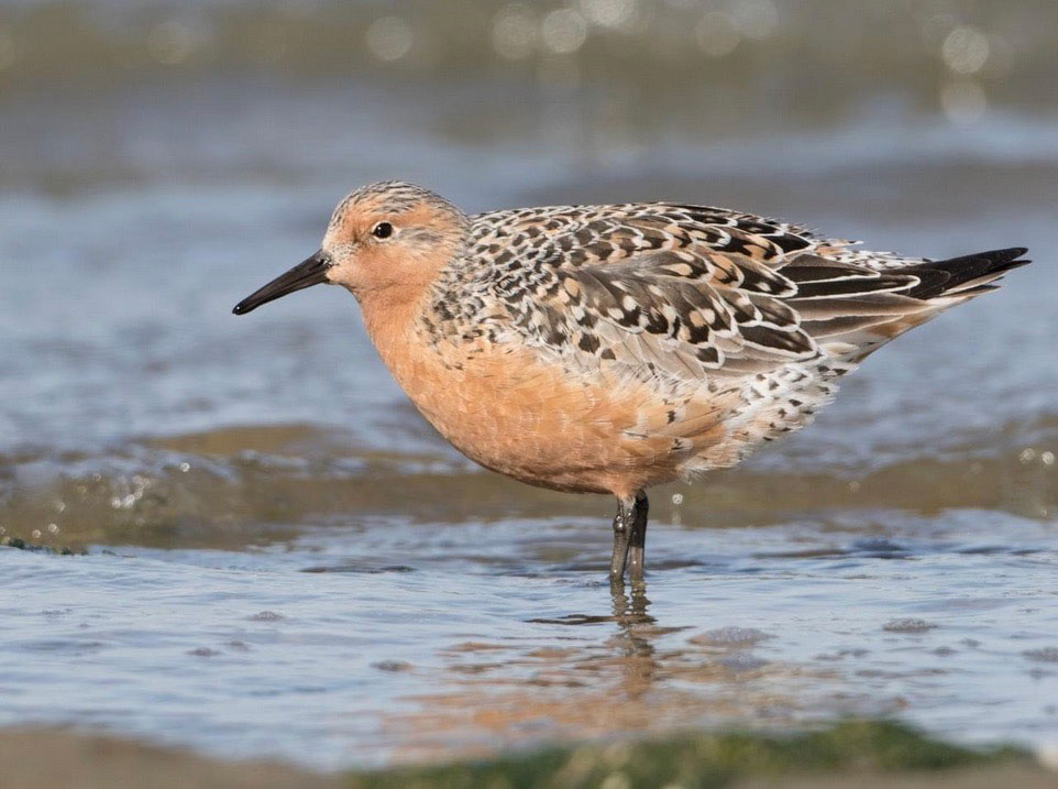 Image of Red Knot
