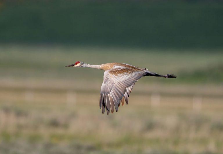 Image of Sandhill Crane