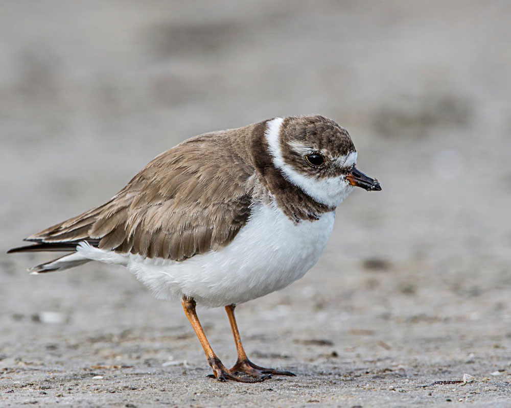 Image of Semipalmated Plover