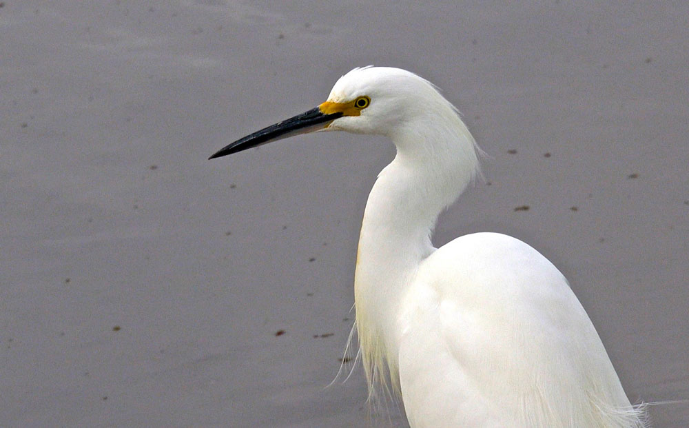 Image of Snowy Egret