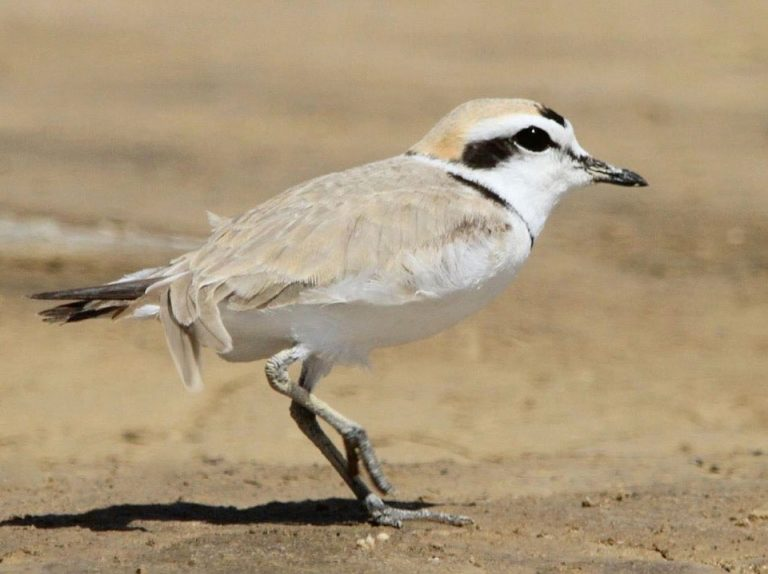 Image of Snowy Plover