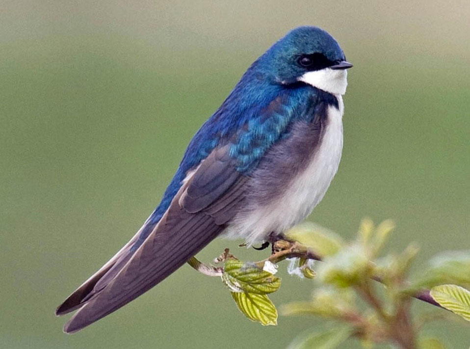 Image of Swallow