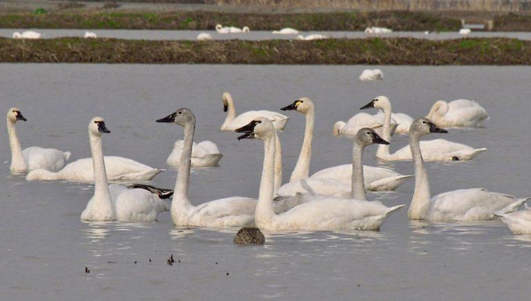 Image of Tundra Swan