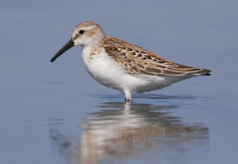 Image of Western Sandpiper