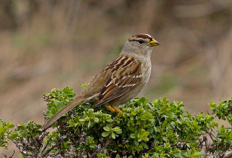 Image of White-crowned Sparrow