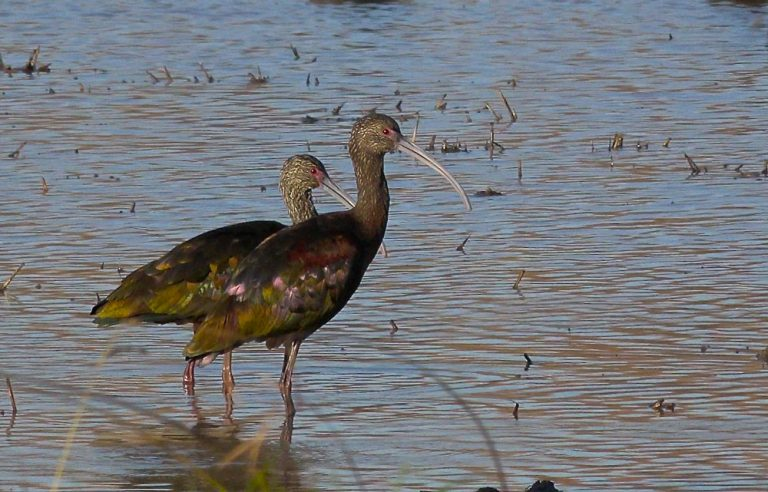 Image of White-faced Ibis