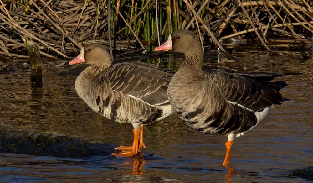Image of White-fronted Goose