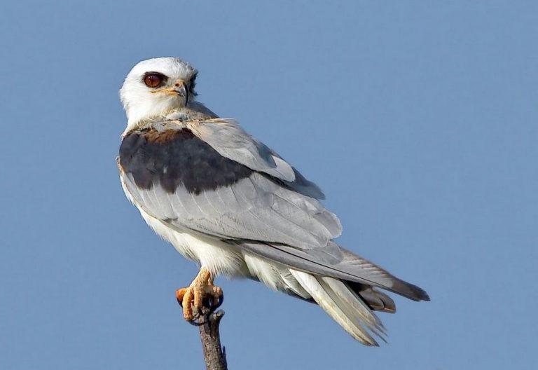 Image of White-tail Kite