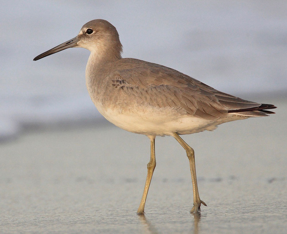 Image of Willet