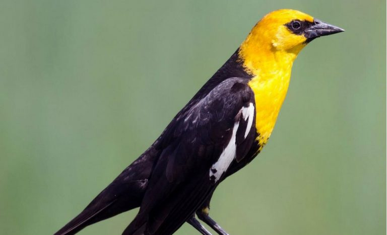 Image of Yellow-headed Blackbird